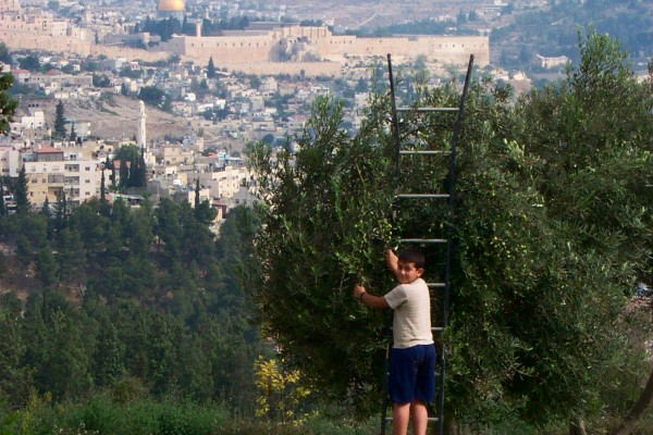 Ölbaum in Jerusalem - Kinder ernten Oliven