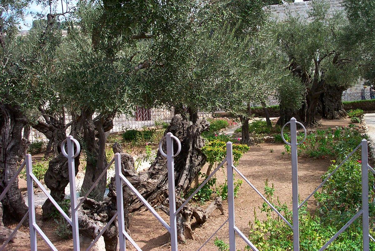Ölbäume im Garten Gethsemane