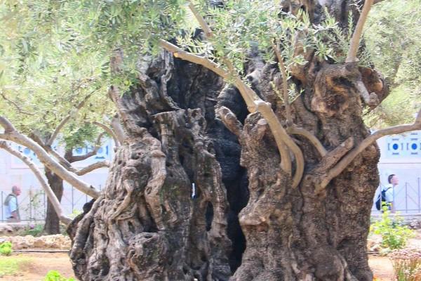 Ölbaum mit 2000 Jahre alten Wurzelwerk im Garten Gethsemane