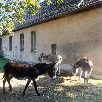 Esel und Neuendorfer Kirche