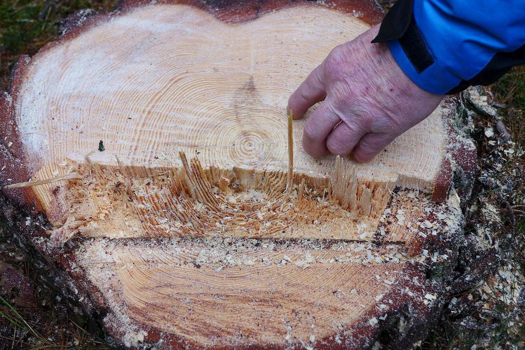 110 Baumringe konnten gezählt werden - Holzfällen an St. Thomas im Kirchenwald Neuendorf