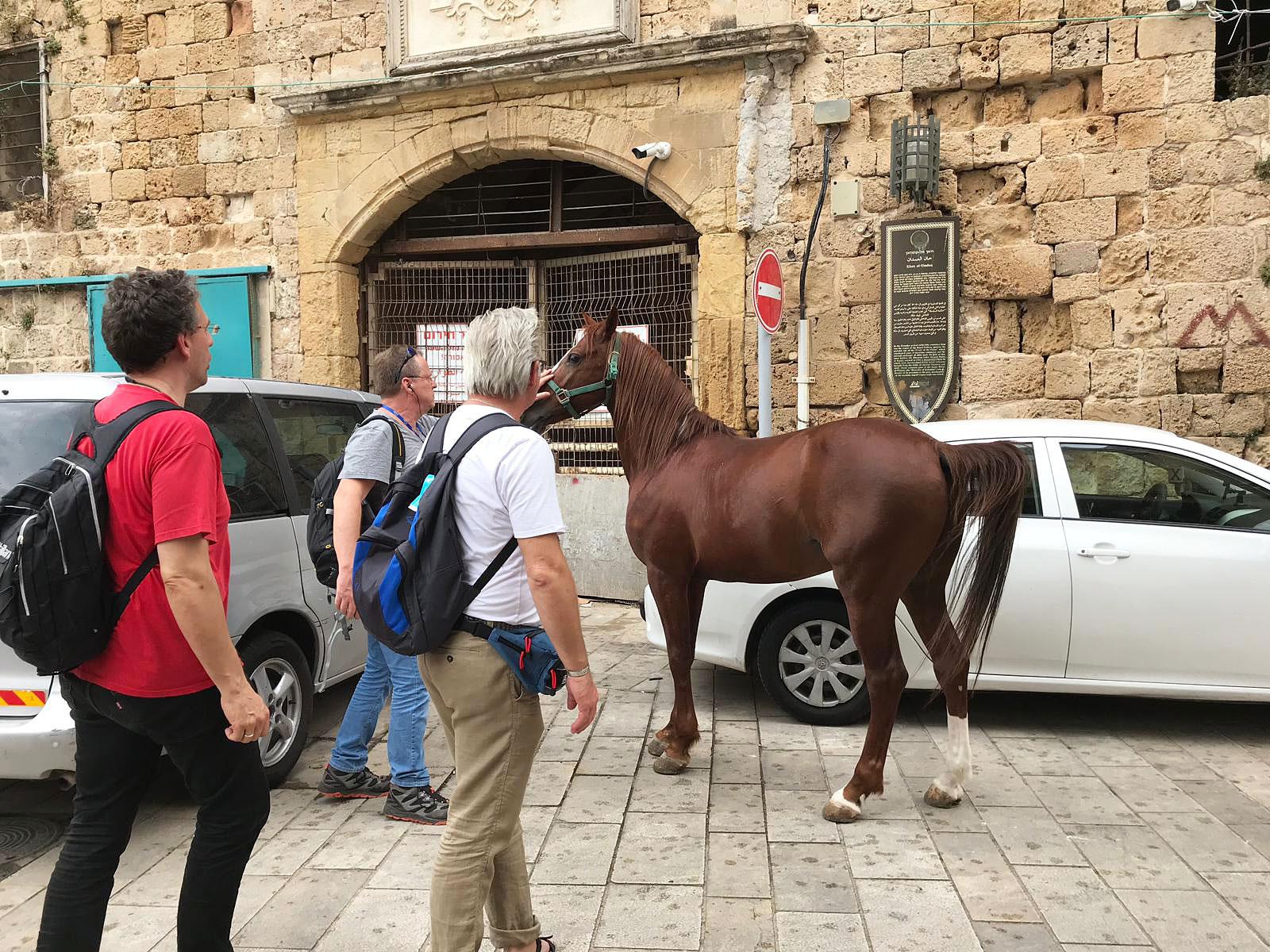 Israelreise 2019 - Araberhengst in Akko eingefangen